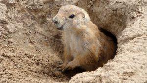 groundhog-1891621_1280